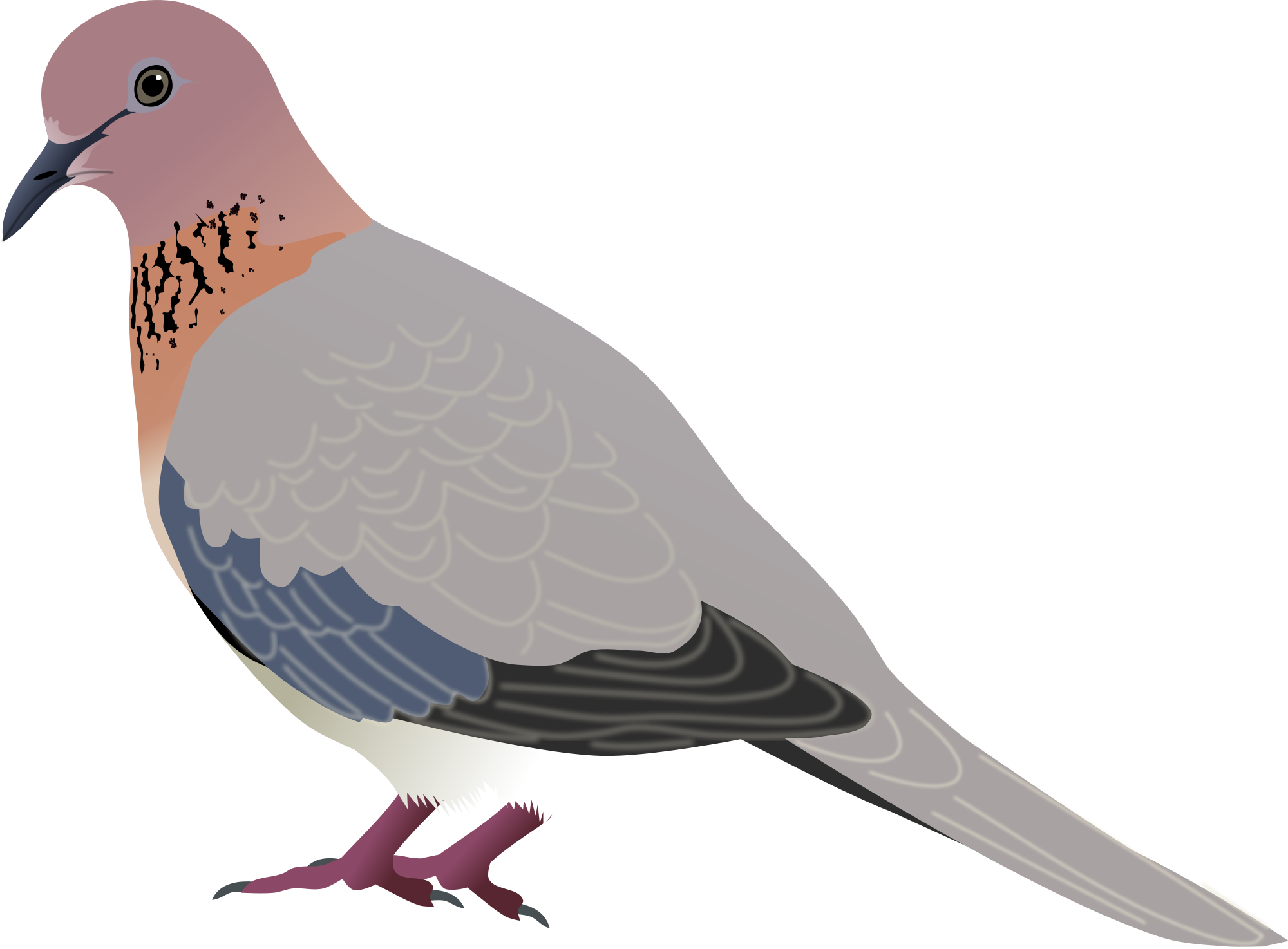 Vector doves svg. File laughing dove wikimedia