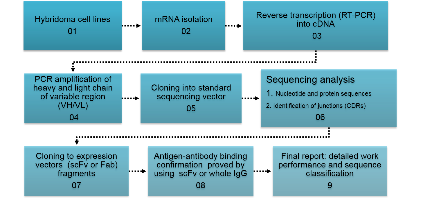 Vector expressions antibody expression. Hybridoma sequencing flow chart