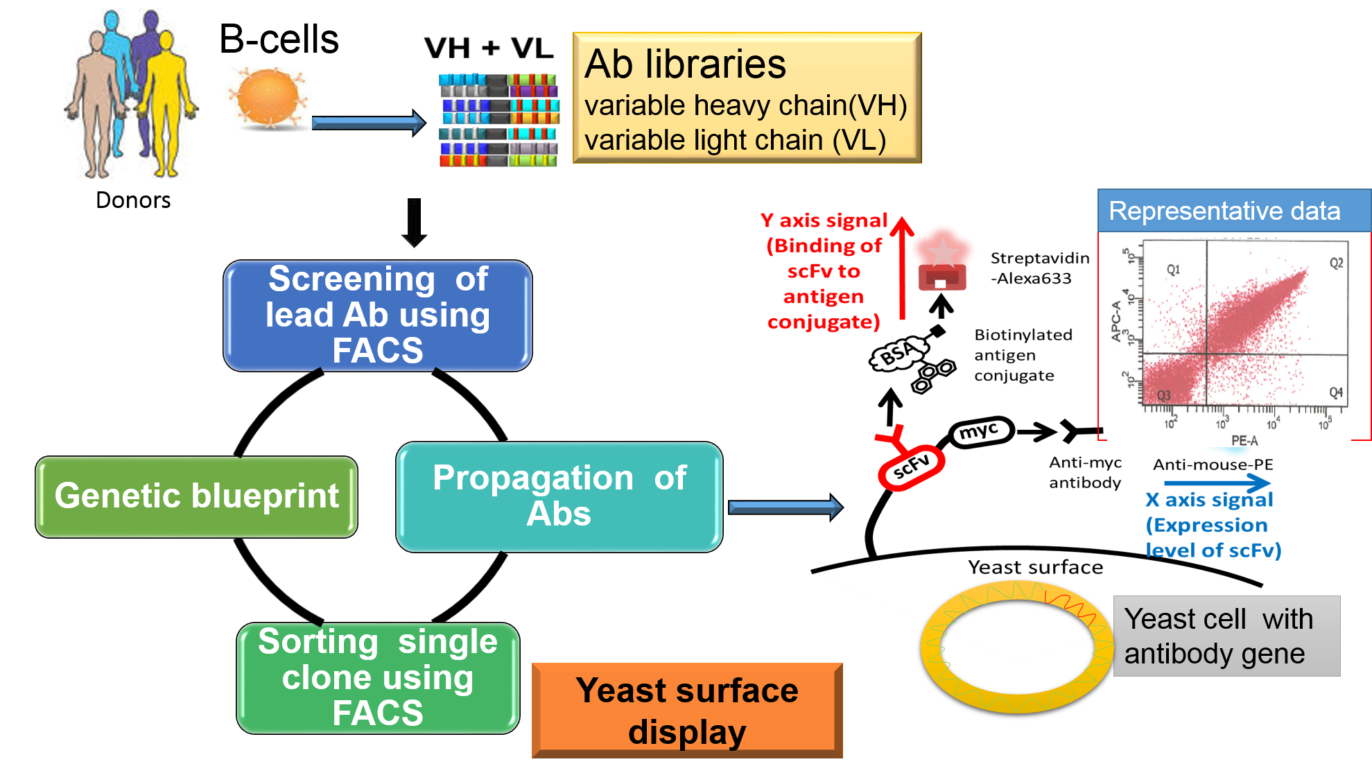 Vector expressions antibody expression. Combinatorial libraries overview of