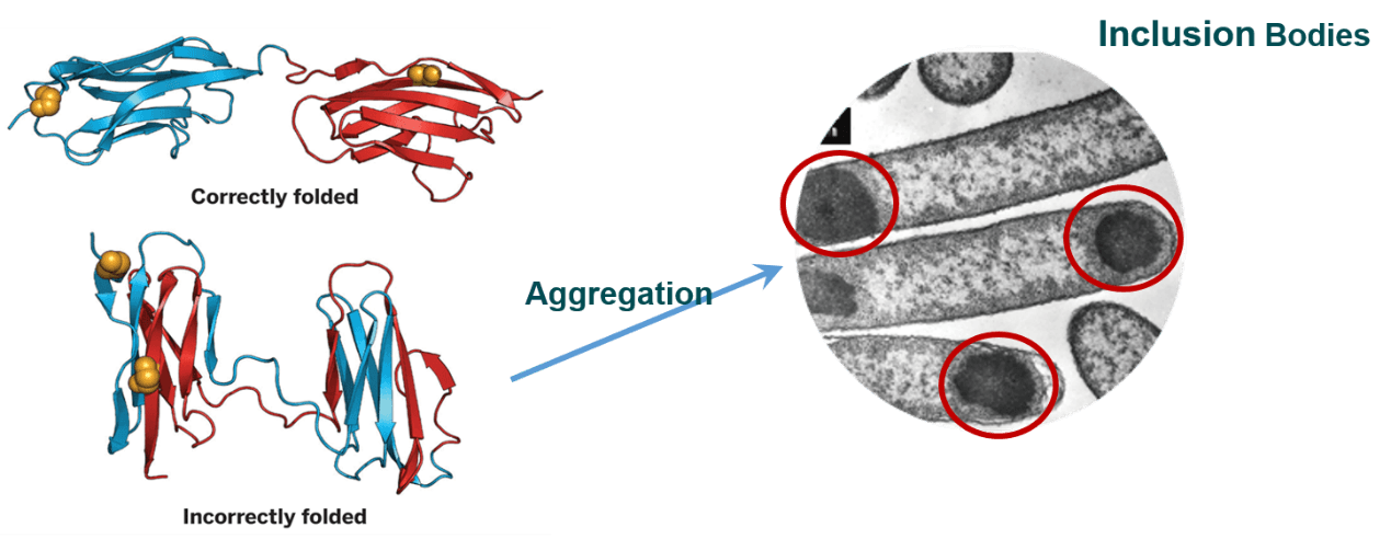 Vector expressions bacterial expression. Recombinant protein and its