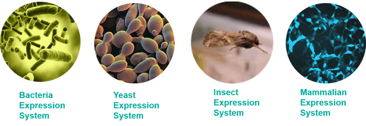 Vector expressions insect. Recombinant protein and its