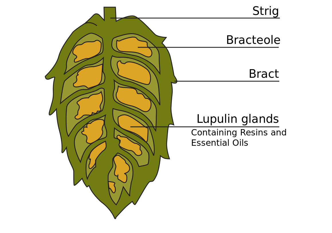 Vector hops bud. Cross section of hop