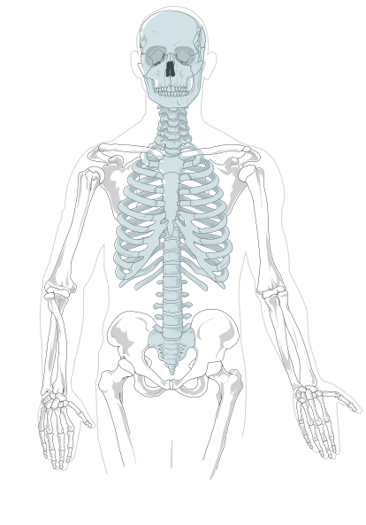 Vector human anatomical. Unlabelled axial skeleton printouts