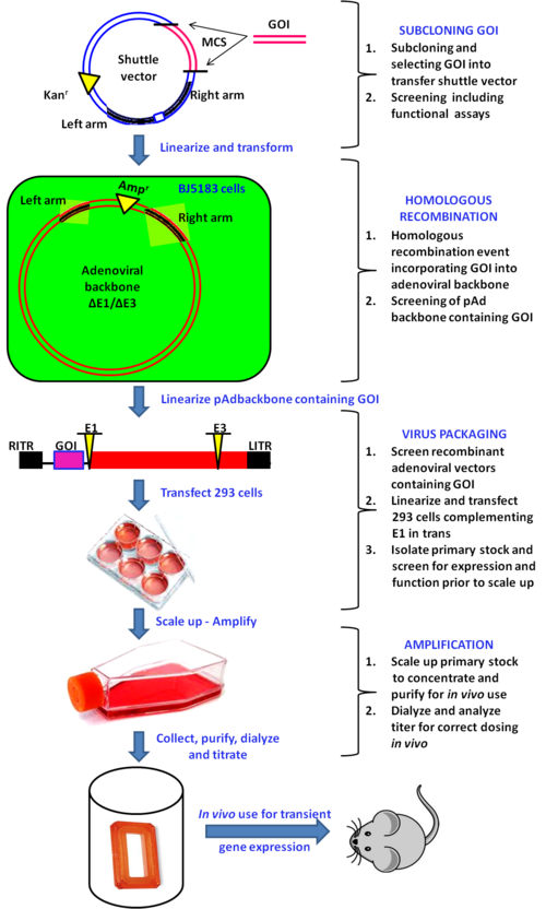 Vector infections. Recombinant adenoviral systems