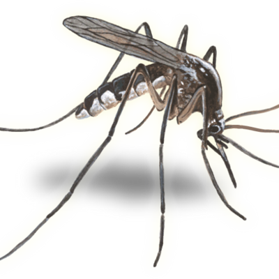 Vector mosquitoes. Cc mosquito ccmosquito twitter