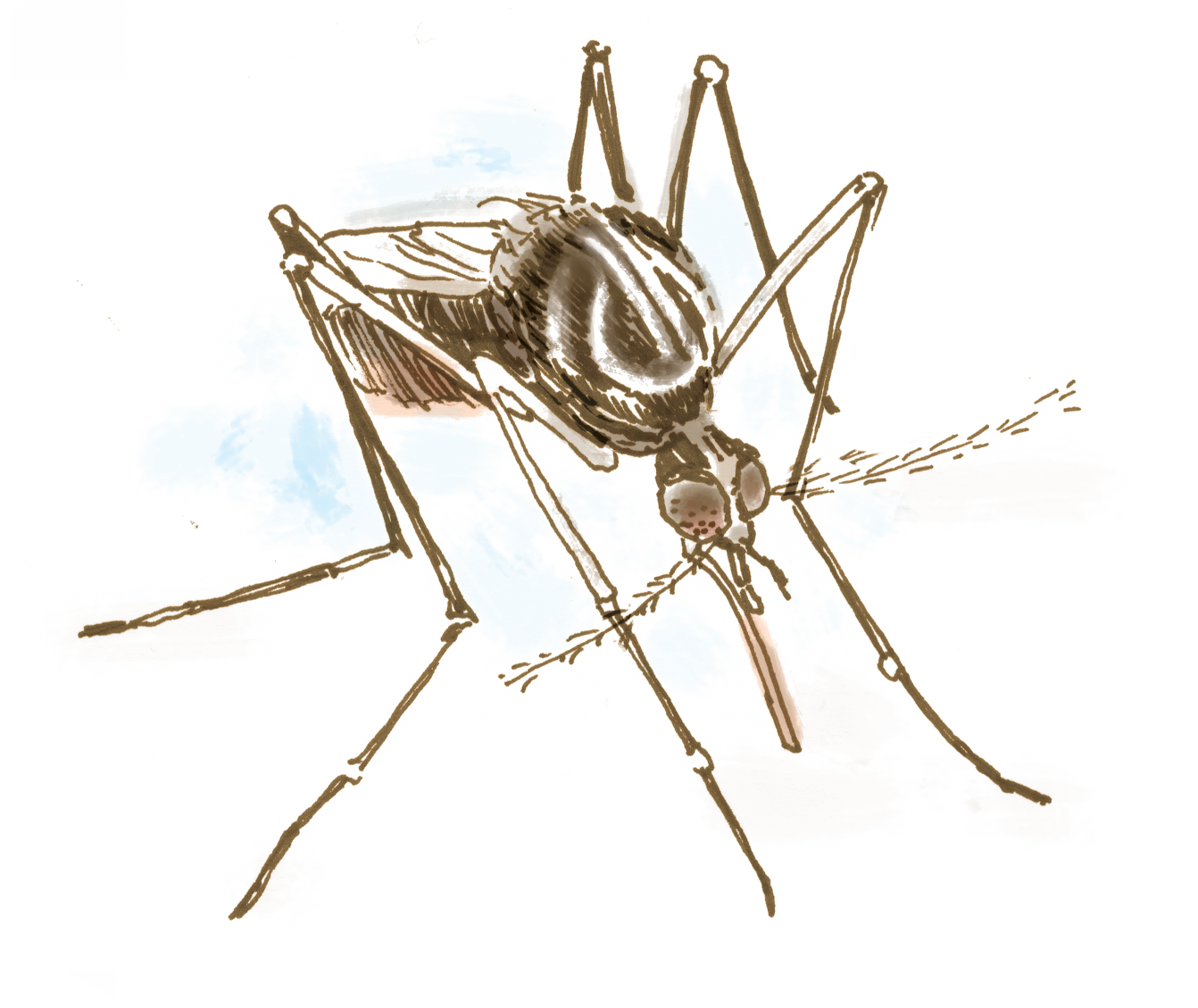 Vector mosquitoes carries malaria. Could this mosquito bring