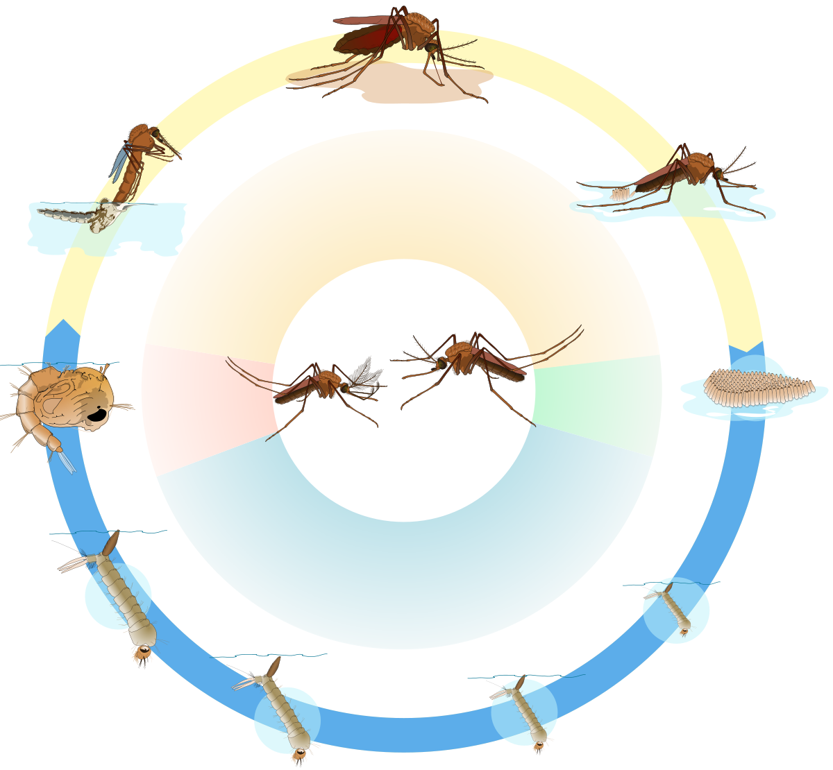 Vector mosquitoes larvae. Life cycle mosquito biology