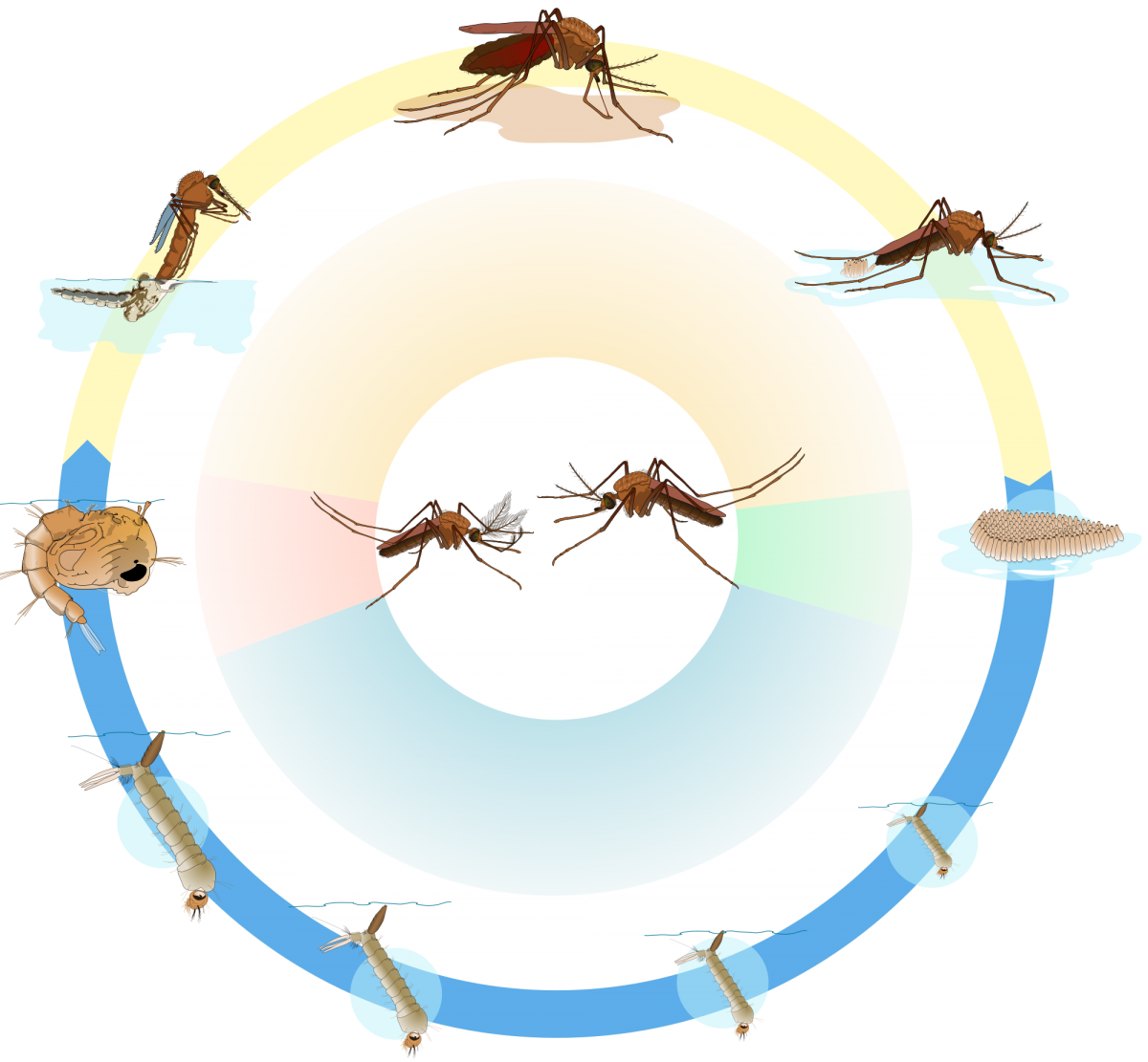 Vector mosquitoes life stage. The mosquito cycle san