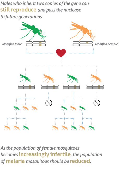 Vector mosquitoes malaria african. Our work target males