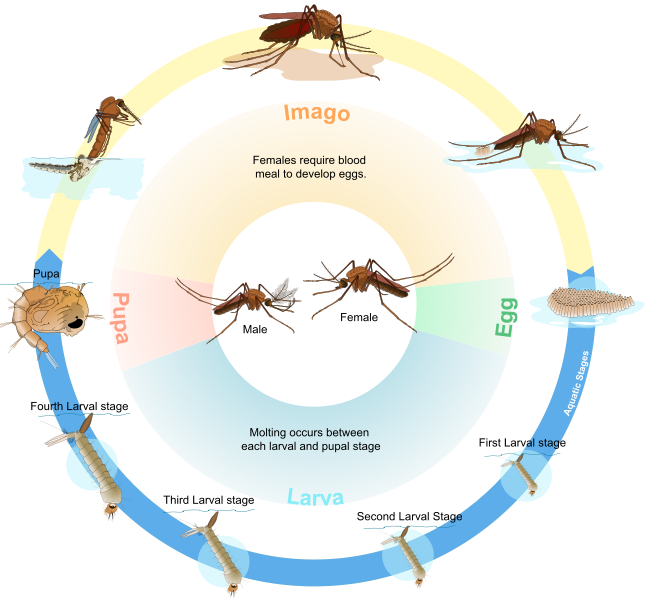 Vector mosquitoes mansonia. Infection landscapes lymphatic filariasis