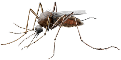 Vector mosquitoes transparent. Mosquito png images free