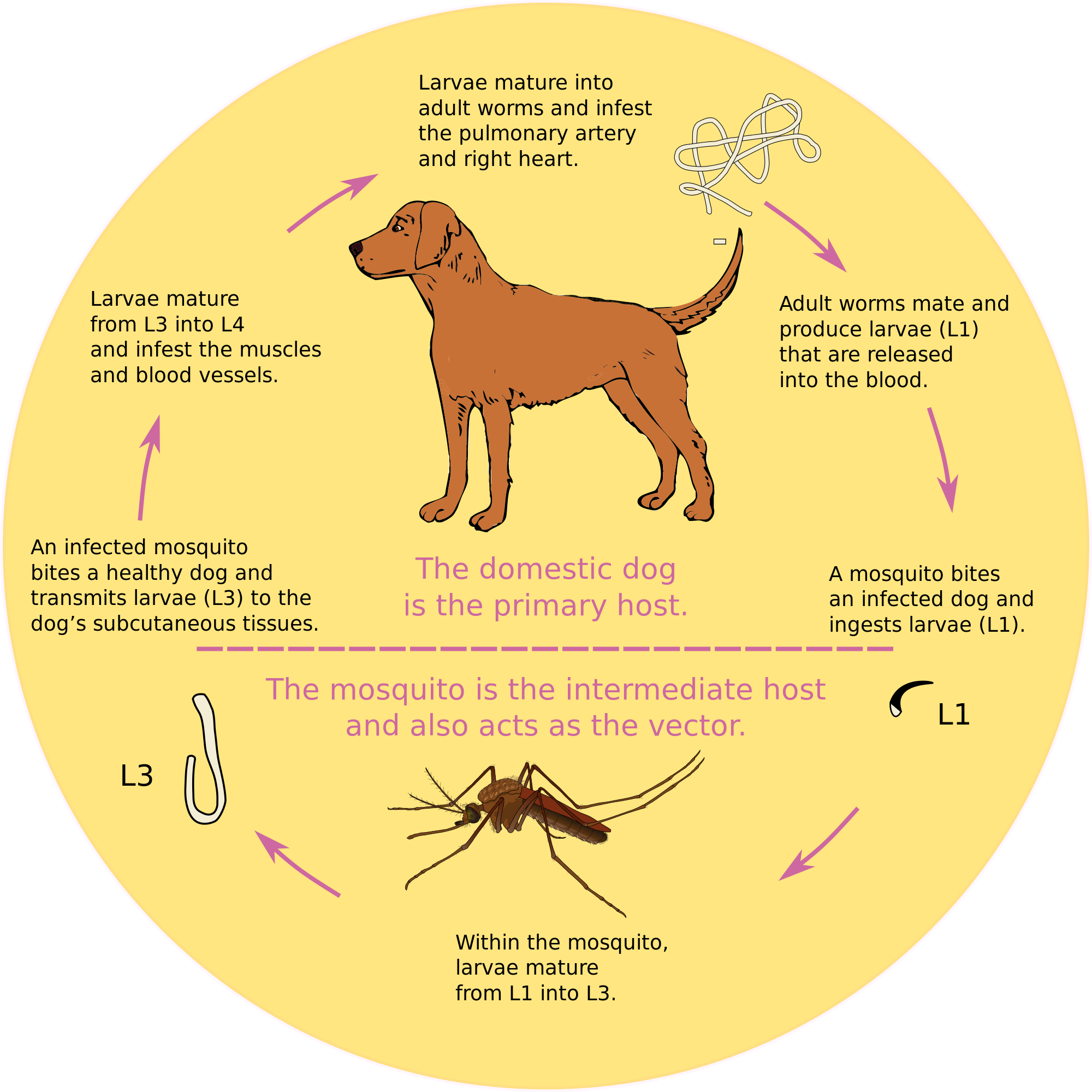 Vector mosquitoes wikipedia. Dirofilaria immitis course of