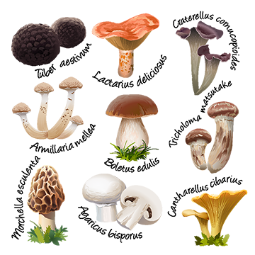 Chanterelle png vectors psd. Mushrooms vector art jpg royalty free stock