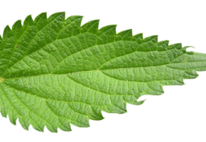 Vector nature herbal. Nettle leaf read more
