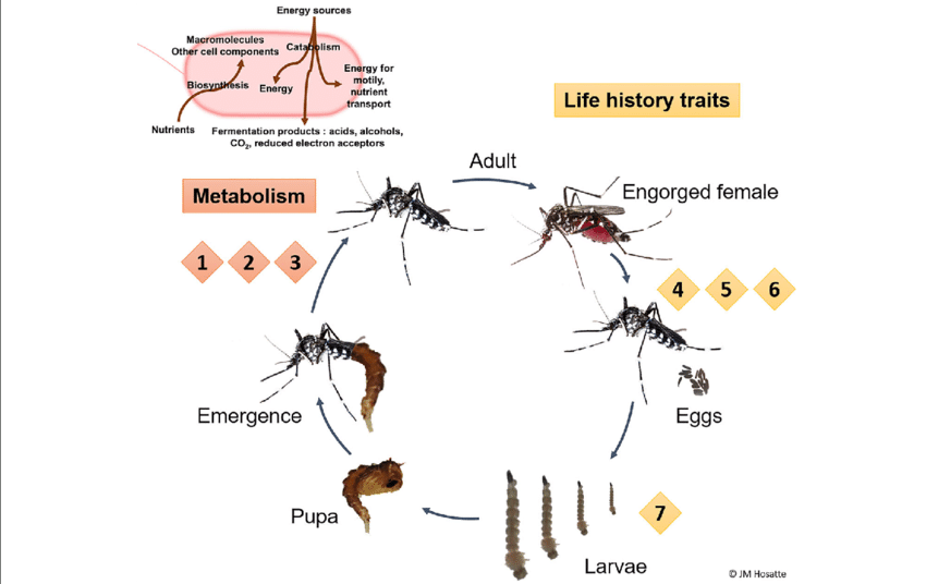 Vector organism fungal. Putative functions of mosquito