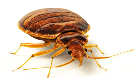 Vector parasite bed bug. Download free png image