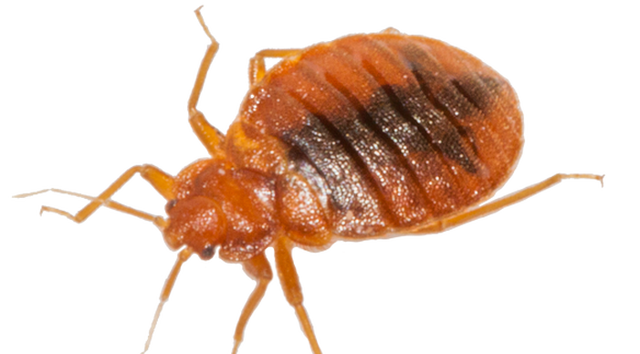 Vector parasite bed bug. Png images free download