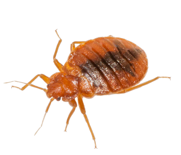 Vector parasite bed bug. Png