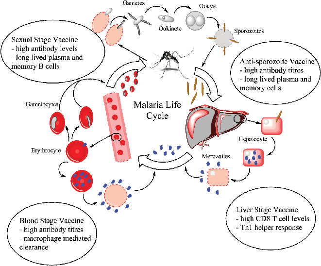 Vector parasite malaria. The life cycle of