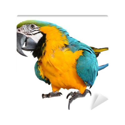 Vector parrot blue gold macaw. And wall mural pixers
