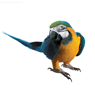 Vector parrot blue gold macaw. Png transparent images pluspng