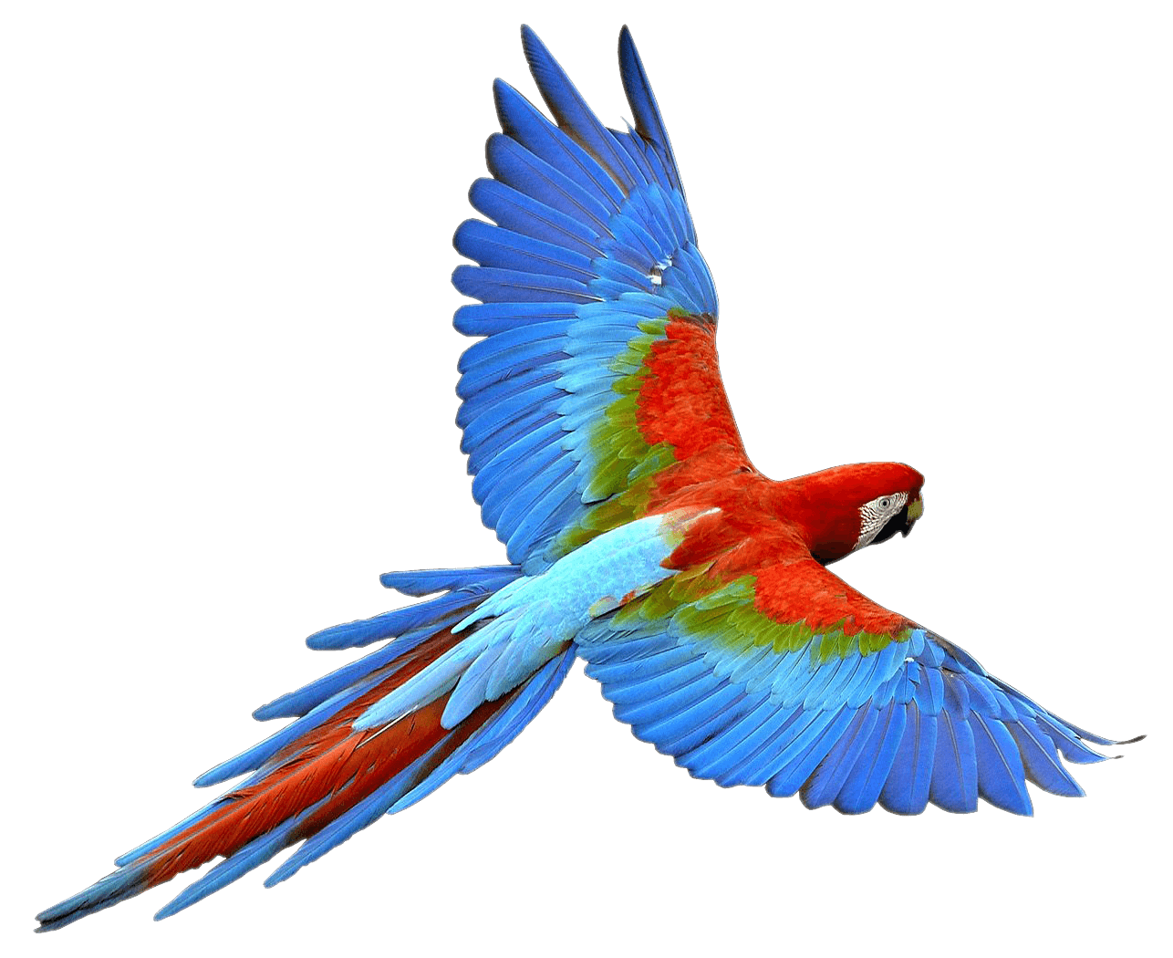 Vector parrot exotic bird. Flying png embroidery ideas