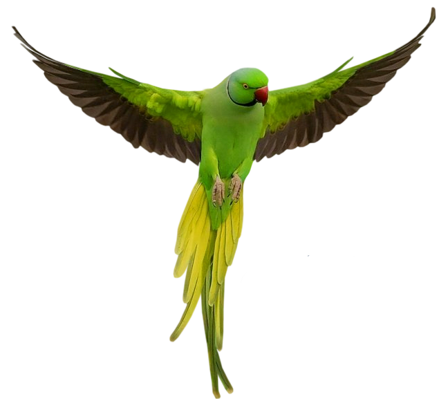 Vector parrot jungle. Png transparent images pngio