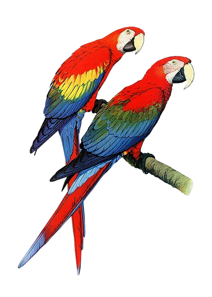 Vector parrot realistic cartoon. Clipart pencil and in