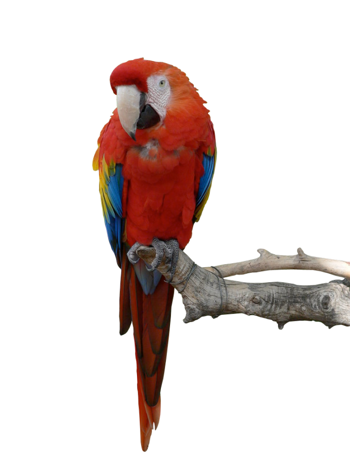 Vector parrot red. Png hd clipart psd