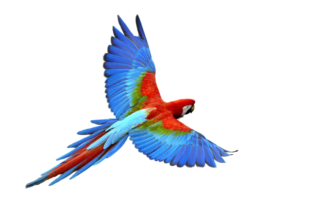 Vector parrot red. Happy transparent free png