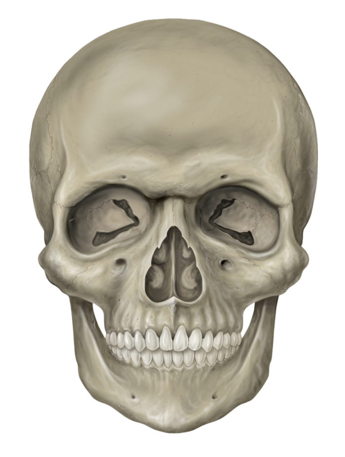 Vector skeleton anthropology. Head free download png