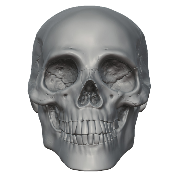 Vector skeleton anthropology. Head free png image