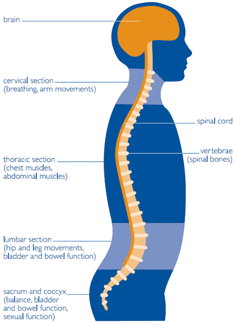 Vector spine golden. Diagram medical illustration nervous