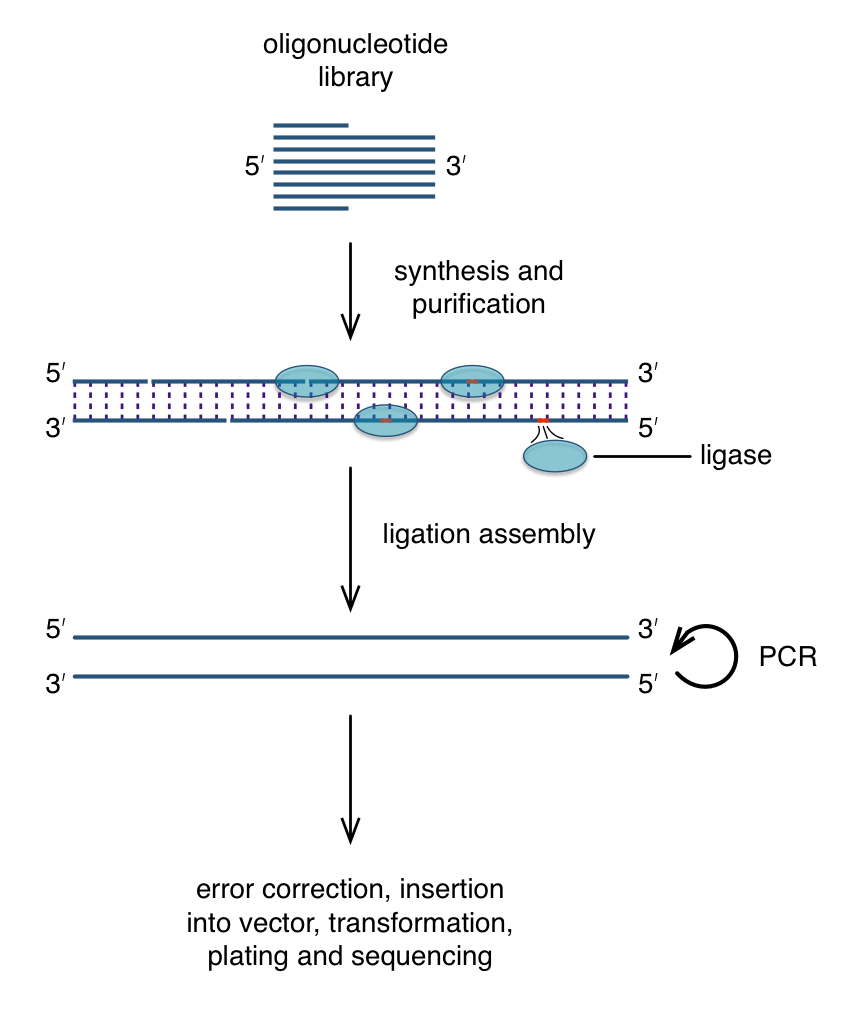 Vector synthesis azspwm1. Gene by ligation