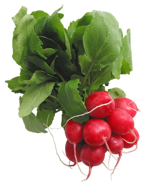 Vector vegetables radish. Radishes png picture graphics