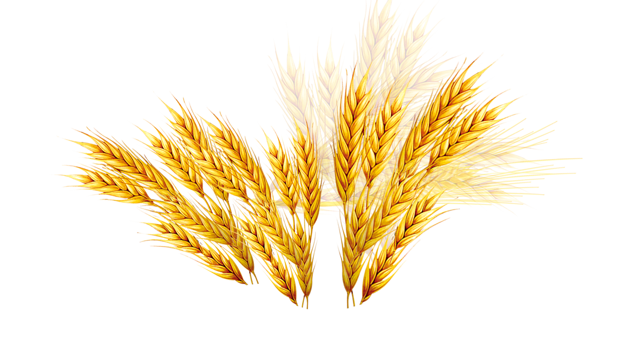Vector wheat barley. Emmer coupon rice transprent