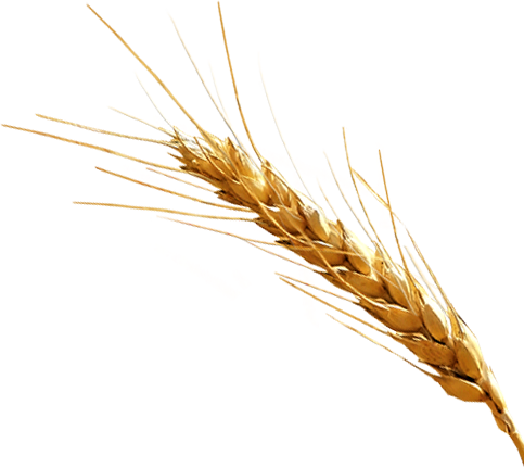 Vector wheat gehu. Grain clip art