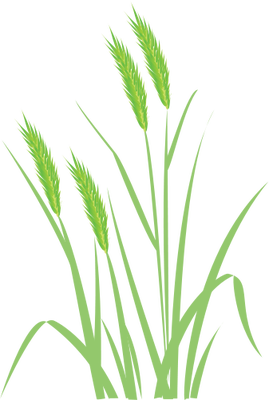 Vector wheat plant. Drawing at getdrawings com