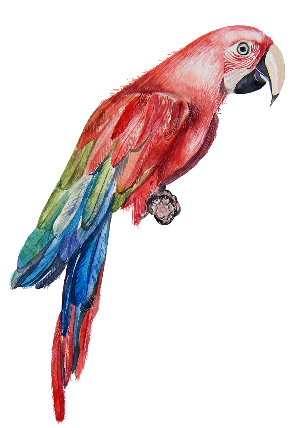 Vector parrot red. A dull transparent png