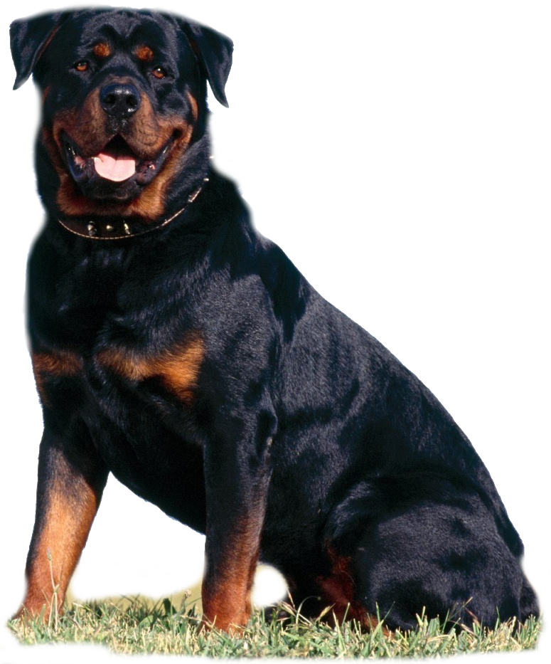 Vicious dogs png. Image beautiful rottweiler beautifulrottweilerrottweilerpng