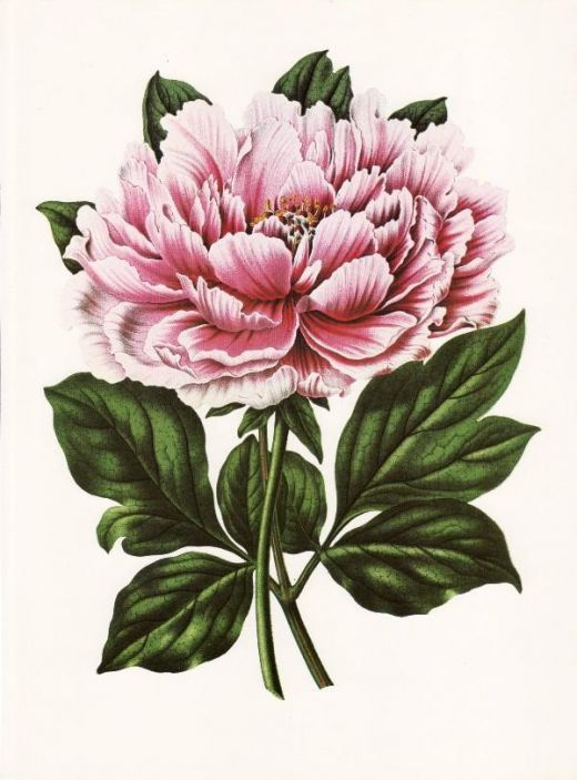 Victorian clipart fruit. Free flowers and vintage