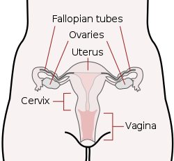 Vigina drawing. Cervix wikipedia scheme female