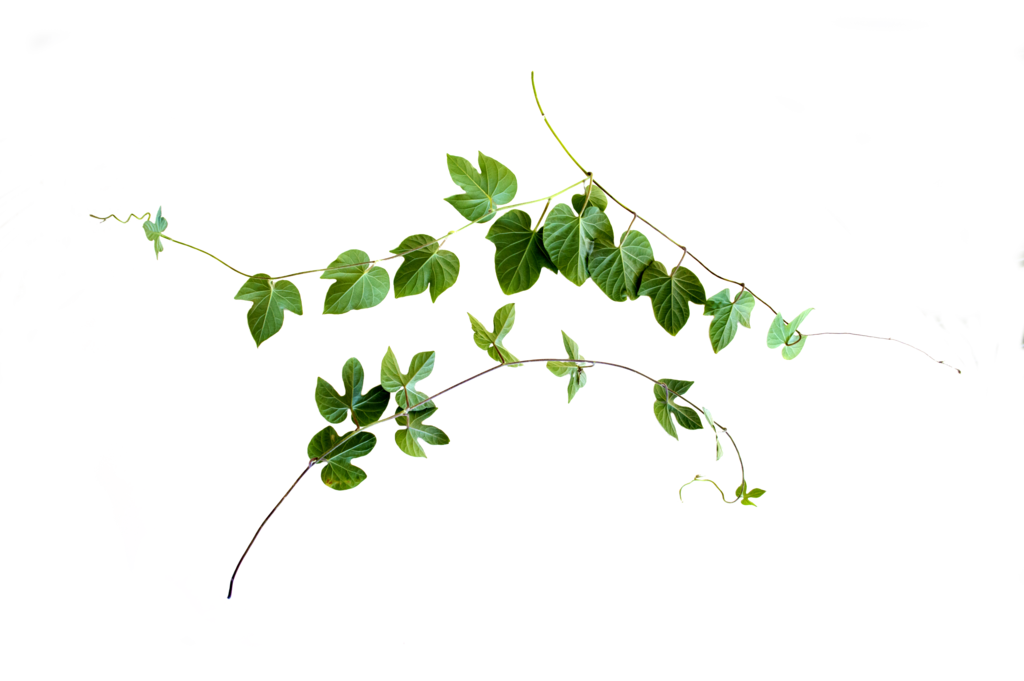 Vine png. Cut out by kibblywibbly