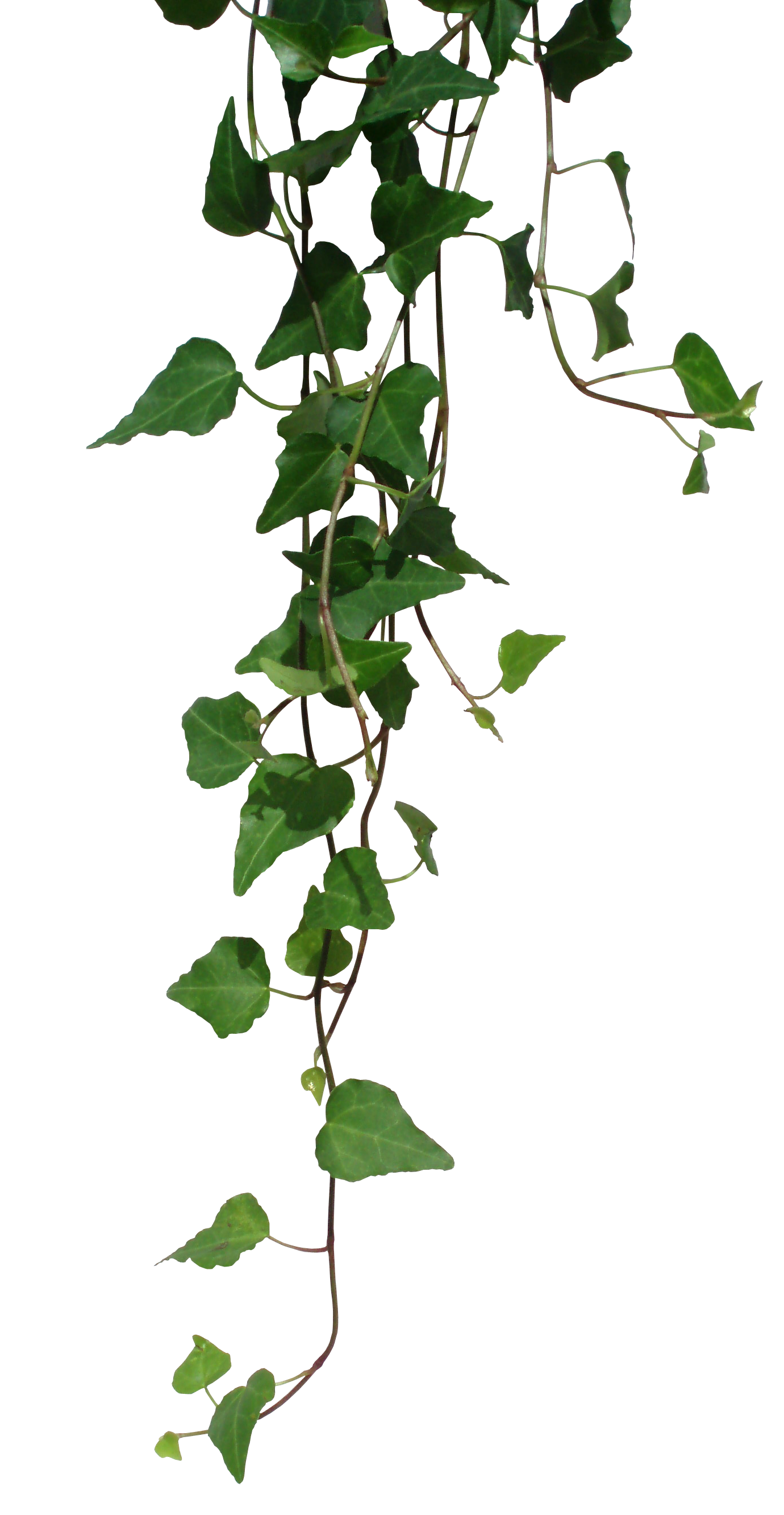 Vines png. Transparent pictures free icons
