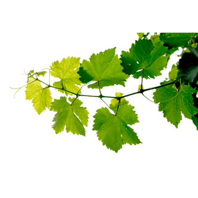 Grape leaf png