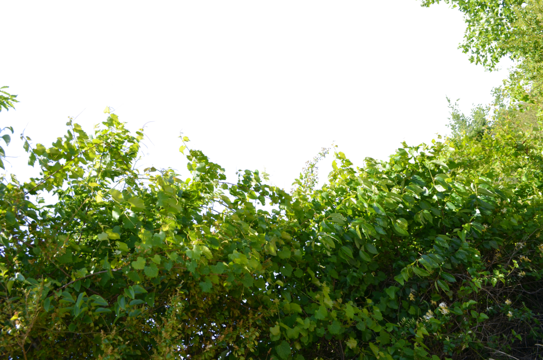 Vines png. Bushs and stock photo