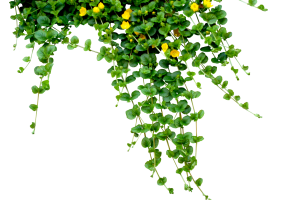 Vines png. Plant image related wallpapers