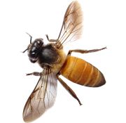 Bees transparent clear background. Pin by freewebpsd on