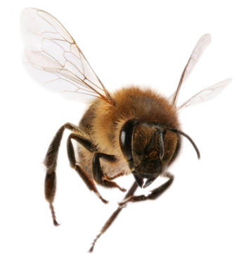 Bees transparent flying. Bee png images free