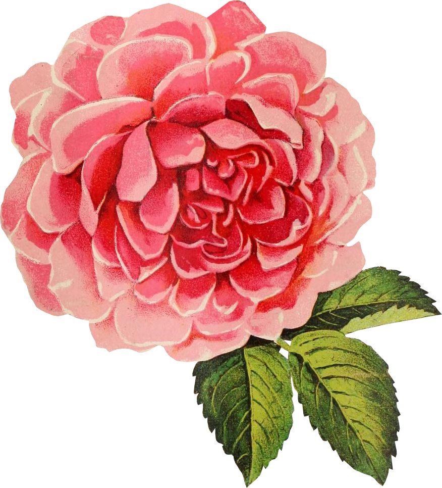 Vintage flower graphic png. Free friday cabbage rose